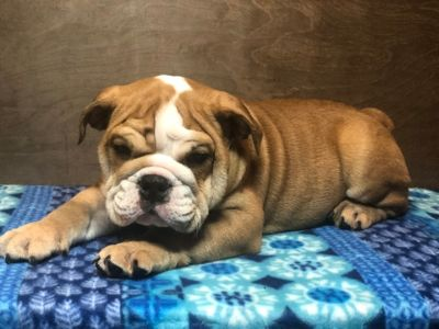 English Bulldog PUPPY FOR SALE ADN-109261 - English Bulldog