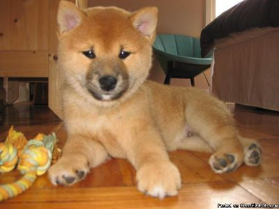 THSRTY SHIBA INU PUPPIES AVAILABLE FOR SALE Text: (4O4) 692 XX 3714