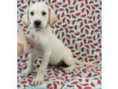 Adopt Lotus a Labrador Retriever, English Springer Spaniel
