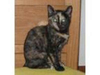 Adopt Polly a Tortoiseshell Domestic Mediumhair / Mixed (medium coat) cat in