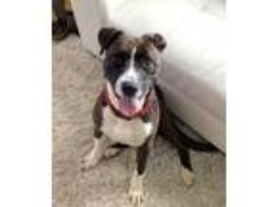 Adopt Drew a Boxer, Pit Bull Terrier