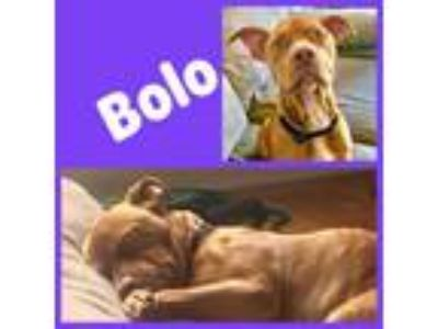 Adopt BOLO a Pit Bull Terrier