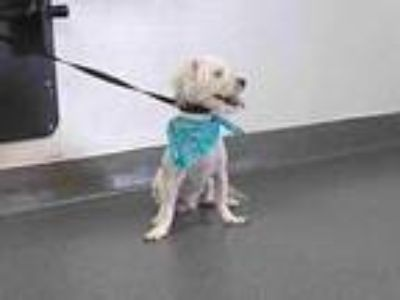 Adopt 20-00781 a Poodle