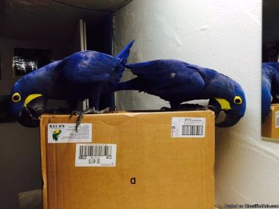 Good Talking M/F Hyacinth Macaw Parrots For Sale
