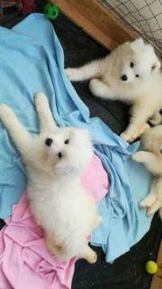 Samoyed PUPPY FOR SALE ADN-91445 - three pure white Samoyed puppies