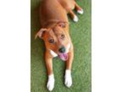 Adopt Winnie a Pit Bull Terrier / Terrier (Unknown Type, Medium) / Mixed dog in