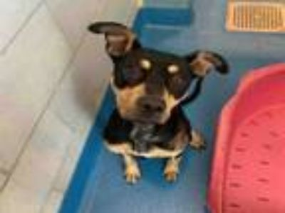 Adopt TIFFANY a Doberman Pinscher