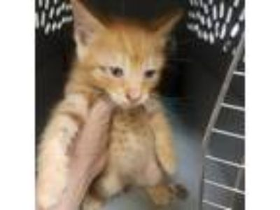 Adopt Mackie a Orange or Red Domestic Shorthair cat in League City