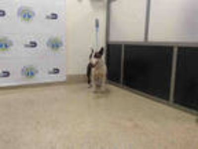 Adopt SEXY a Brindle Bull Terrier / Mixed dog in Doral, FL (25476306)
