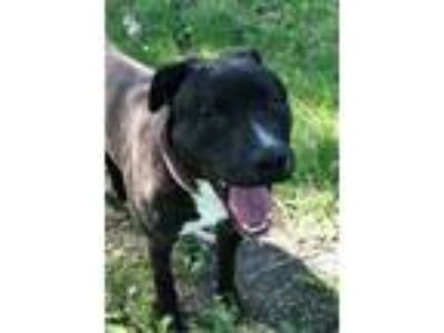 Adopt Jarvis a Pit Bull Terrier