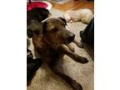 Adopt Mace a Tricolor (Tan/Brown & Black & White) Plott Hound / Mixed dog in