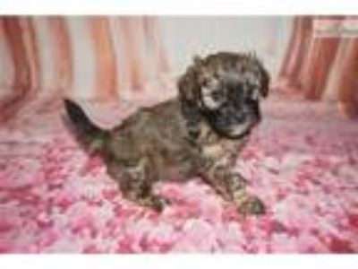 Hamburger Gorgeous Brindle Black Male CKC Shihpoo