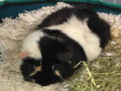 Adopt LUNA a Black Guinea Pig / Mixed small animal in Plano, TX (25296713)