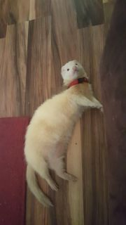 Rehoming male ferret