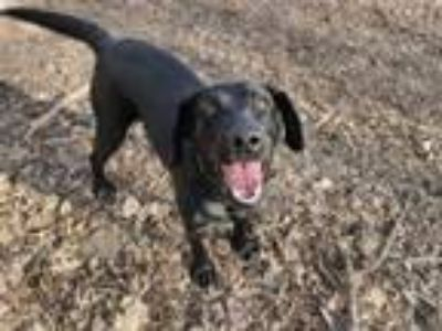 Adopt Ayla a Black Labrador Retriever, Labrador Retriever