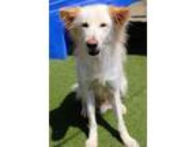 Adopt Nash a White Australian Shepherd / Shiba Inu / Mixed dog in San Diego