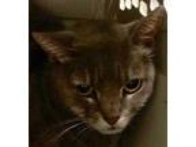 Adopt INGRID a Gray or Blue Domestic Shorthair / Domestic Shorthair / Mixed