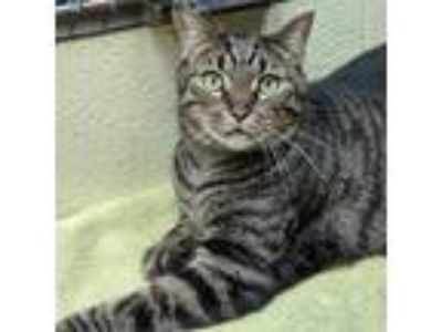 Adopt Dwayne a Brown Tabby Domestic Shorthair (short coat) cat in Wheaton