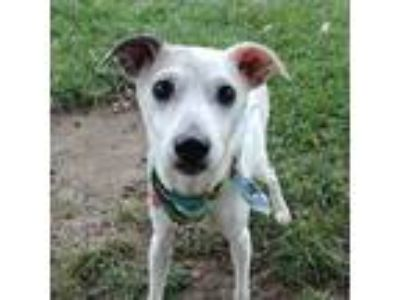 Adopt Gus a Jack Russell Terrier / Mixed dog in Des Moines, IA (25938393)