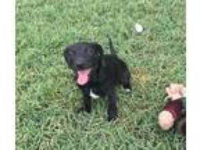 Adopt Stella a Black - with White Dachshund / Rat Terrier / Mixed dog in Palm