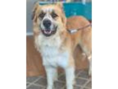 Adopt Bubba a Red/Golden/Orange/Chestnut Great Pyrenees / Anatolian Shepherd /