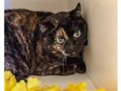 Adopt Smuffie a Domestic Shorthair / Mixed cat in Golden, CO (25361525)
