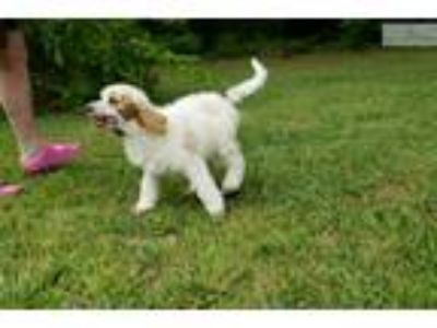 Beautiful Well Bred Red Parti Standard Poodle Girl