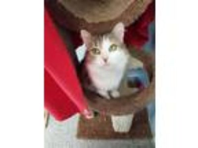 Adopt Juno a White Domestic Longhair / Domestic Shorthair / Mixed cat in