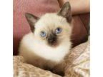 Adopt Rocket a White (Mostly) Siamese cat in Los Angeles, CA (25597229)