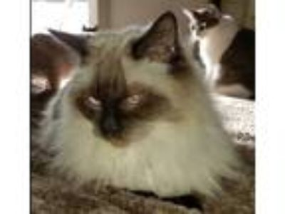 Adopt Pattie a Brown or Chocolate Siamese (long coat) cat in Nashua