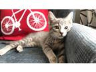 Adopt Joey a Spotted Tabby/Leopard Spotted Domestic Shorthair cat in Lafayette