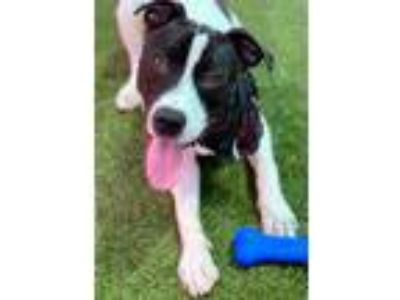 Adopt Tank a Black American Pit Bull Terrier / Mixed dog in Jacksonville