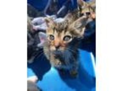 Adopt EDDY a Brown Tabby Domestic Mediumhair / Mixed (medium coat) cat in