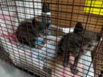 Adopt a Gray or Blue Russian Blue / Mixed (short coat) cat in Austin