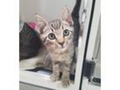 Adopt Twiggy a Domestic Short Hair