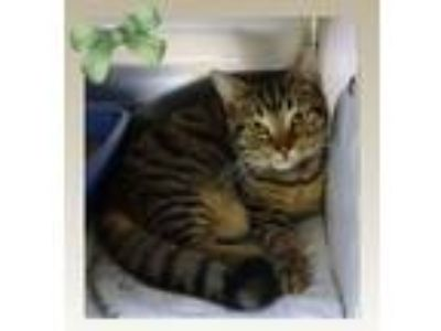 Adopt TIGER AND LEO a Brown Tabby Domestic Shorthair (short coat) cat in