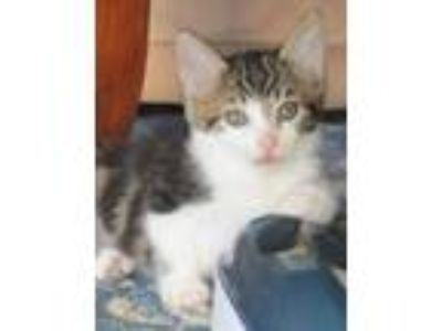 Adopt Eustis a Domestic Short Hair