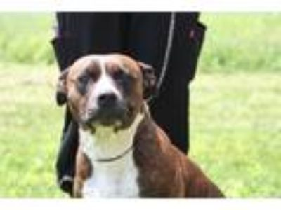 Adopt Bailey a Hound, Pit Bull Terrier