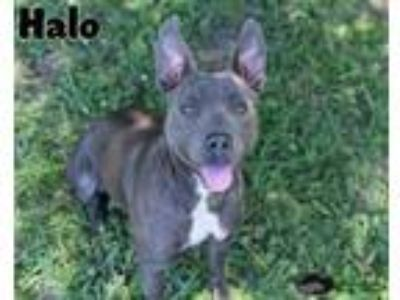 Adopt Halo a Pit Bull Terrier / Mixed dog in Gautier, MS (25349103)