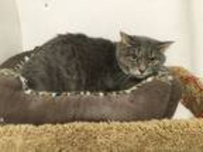 Adopt Sweetie a Gray or Blue Russian Blue (short coat) cat in Lancaster