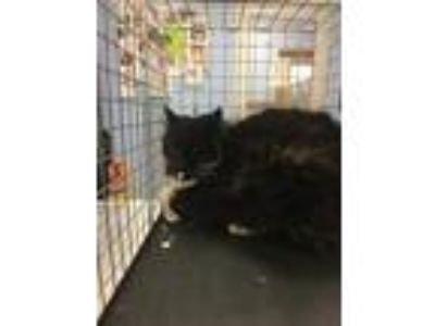 Adopt Willow a All Black Domestic Mediumhair / Domestic Shorthair / Mixed cat in