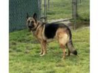 Adopt Maxine a German Shepherd Dog