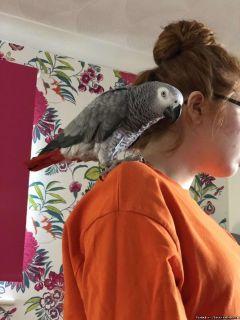 African Grey parrots (Pair) 12 Weeks Old Good Talker!