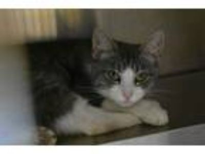 Adopt MS. GREY a Brown Tabby Domestic Shorthair / Mixed (short coat) cat in