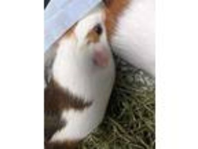 Adopt Mars a White Guinea Pig / Mixed small animal in Largo, FL (25923646)