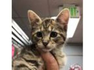 Adopt Zoe a Brown Tabby Domestic Shorthair (short coat) cat in Wheaton