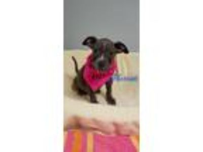 Adopt Hariett a Gray/Silver/Salt & Pepper - with White Pit Bull Terrier dog in