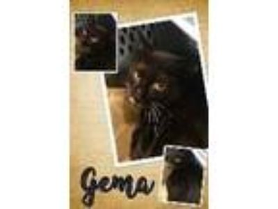 Adopt Gema a Black & White or Tuxedo Domestic Shorthair / Mixed cat in