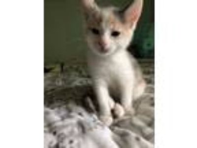 Adopt Spring Kitten: Blossom a Domestic Short Hair, Calico