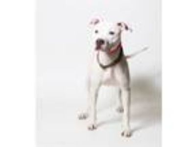 Adopt Lottie a Pit Bull Terrier
